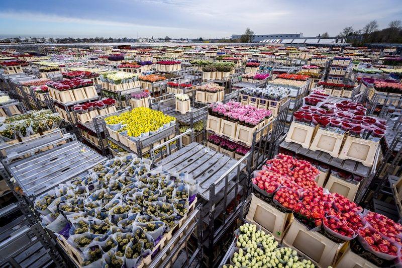 疫情冲击 荷兰单日销毁数百万朵鲜花