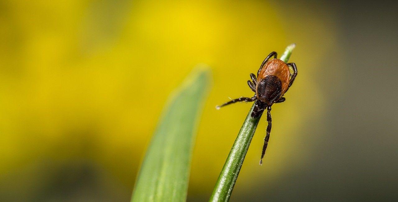 莱姆病夺命|纽约如何预防蜱虫叮咬和莱姆病|蜱虫叮咬后该怎么办